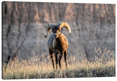 Big Horn Sheep Canvas Art Print