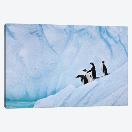 Adélie Penguins, Paulet Island Canvas Print #HRO1} by Hugh Rose Art Print