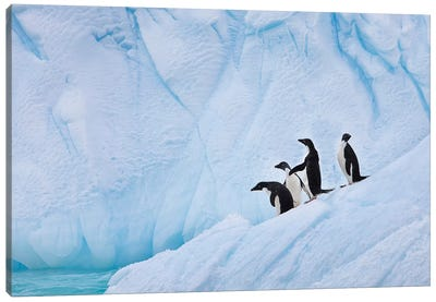 Adélie Penguins, Paulet Island Canvas Art Print