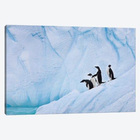 Adélie Penguins, Paulet Island Canvas Print #HRO1} by Hugh Rose Art Print