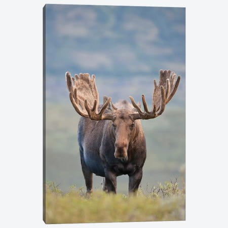Bull Moose On The Tundra, Denali National Park & Preserve, Alaska, USA Canvas Print #HRO5} by Hugh Rose Canvas Artwork