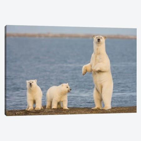 A Pair Of Young Polar Bear Cubs With Their Mother, Coast Of ANWR, Alaska Canvas Print #HRO6} by Hugh Rose Canvas Artwork