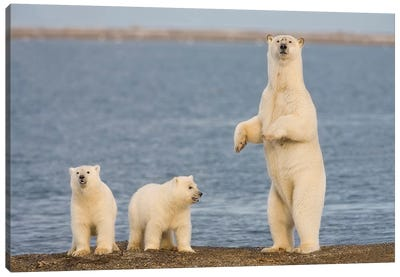 A Pair Of Young Polar Bear Cubs With Their Mother, Coast Of ANWR, Alaska Canvas Art Print