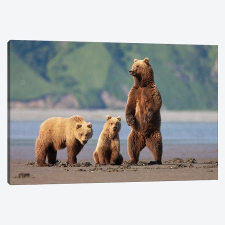 A Brown Bear Mother And Cubs Walks Across Mudflats In Kaguyak Bay, Katmai Coast, Alaska Canvas Print #HRO7} by Hugh Rose Canvas Artwork