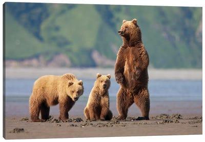 A Brown Bear Mother And Cubs Walks Across Mudflats In Kaguyak Bay, Katmai Coast, Alaska Canvas Art Print
