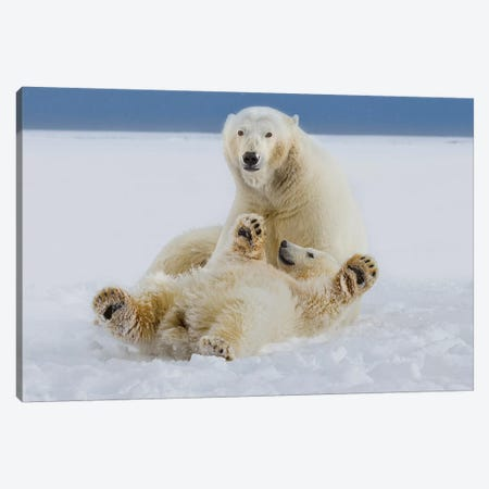 A Female Polar Bear And Her Cub Play In The Snow At The Edge Of The Beaufort Sea Ice Pack, In ANWR, Northern Alaska. Canvas Print #HRO8} by Hugh Rose Art Print