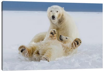 A Female Polar Bear And Her Cub Play In The Snow At The Edge Of The Beaufort Sea Ice Pack, In ANWR, Northern Alaska. Canvas Art Print