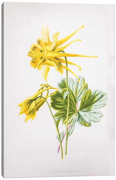 Yellow Columbine Canvas Art Print