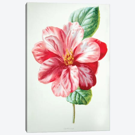 Camellia Canvas Print #HUL1} by F. Edward Hulme Canvas Art Print