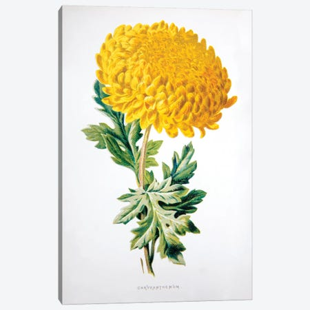 Chrysanthemum Canvas Print #HUL2} by F. Edward Hulme Canvas Art Print