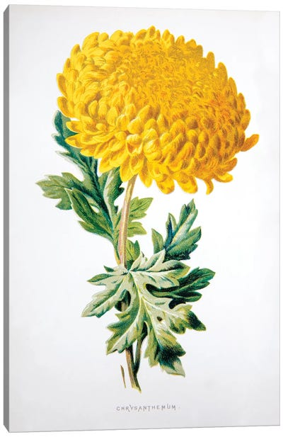 Chrysanthemum Canvas Art Print