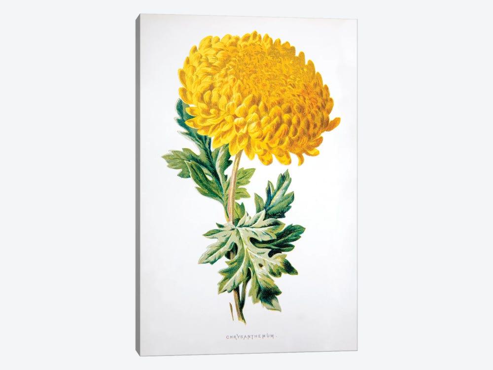 Chrysanthemum by F. Edward Hulme 1-piece Canvas Art Print