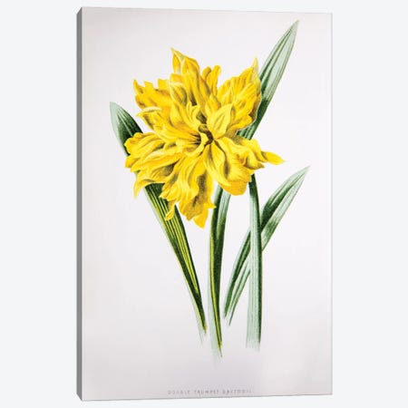 Double Trumpet Daffodil Canvas Print #HUL4} by F. Edward Hulme Canvas Art