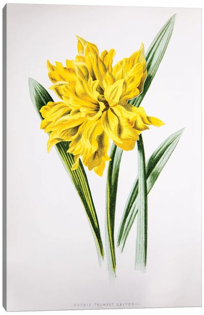 Double Trumpet Daffodil Canvas Art Print