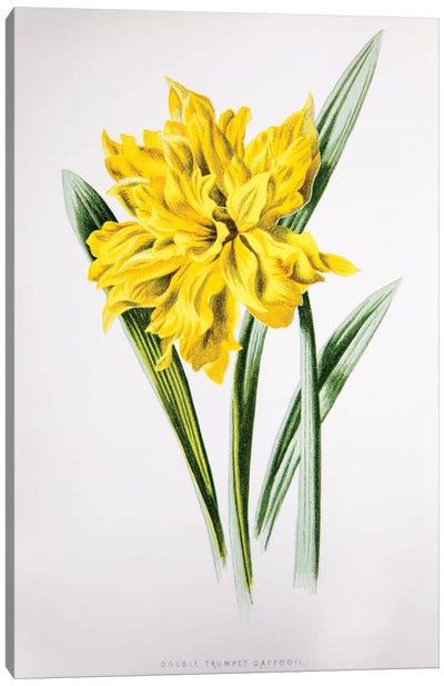 Double Trumpet Daffodil Canvas Art Print