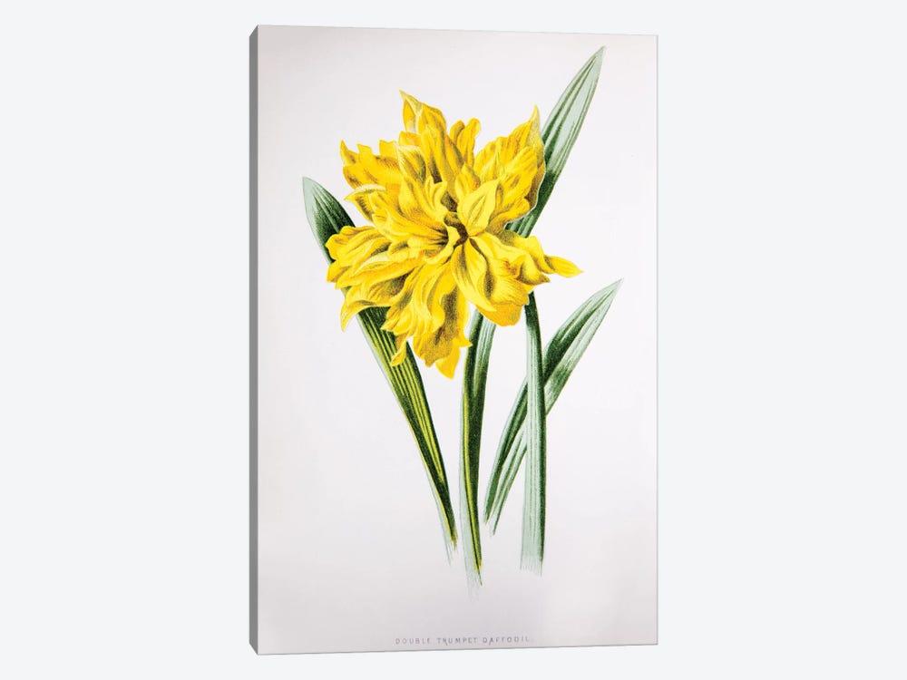 Double Trumpet Daffodil by F. Edward Hulme 1-piece Art Print