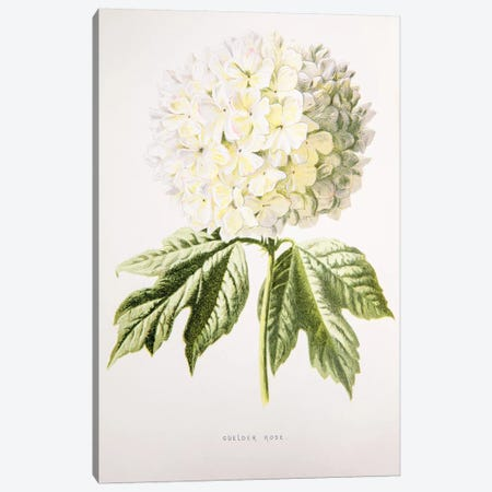 Guelder Rose Canvas Print #HUL5} by F. Edward Hulme Canvas Art