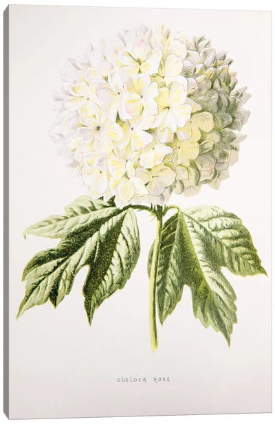 Guelder Rose Canvas Art Print