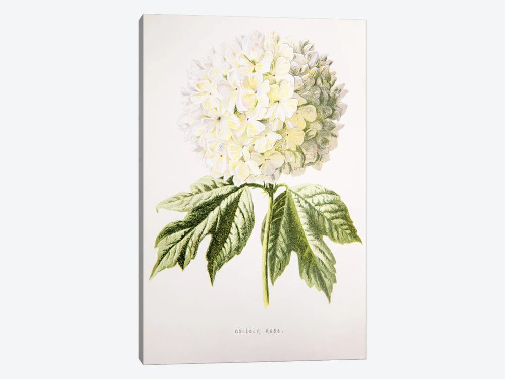 Guelder Rose by F. Edward Hulme 1-piece Canvas Artwork