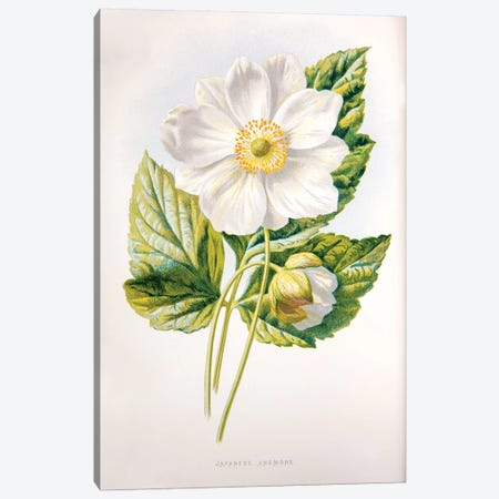 Japanese Anemone Canvas Print #HUL6} by F. Edward Hulme Canvas Wall Art
