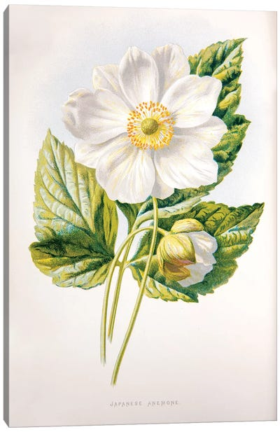 Hibberd's Familiar Garden Flowers Series: Japanese Anemone Canvas Print #HUL6