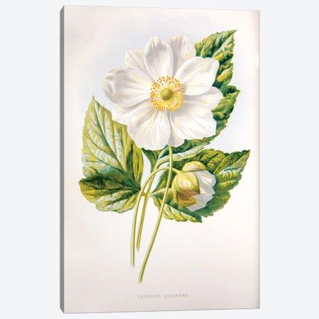 Japanese Anemone Canvas Print #HUL6} by F. Edward Hulme Canvas Wall Art
