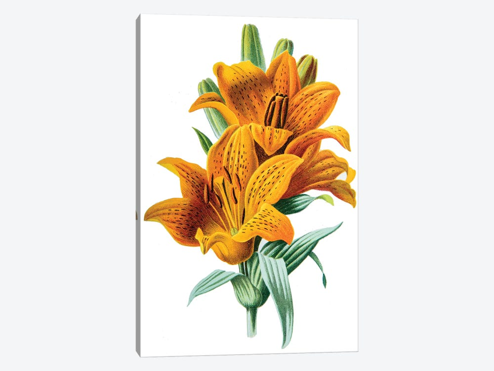 Orange Lily by F. Edward Hulme 1-piece Canvas Art