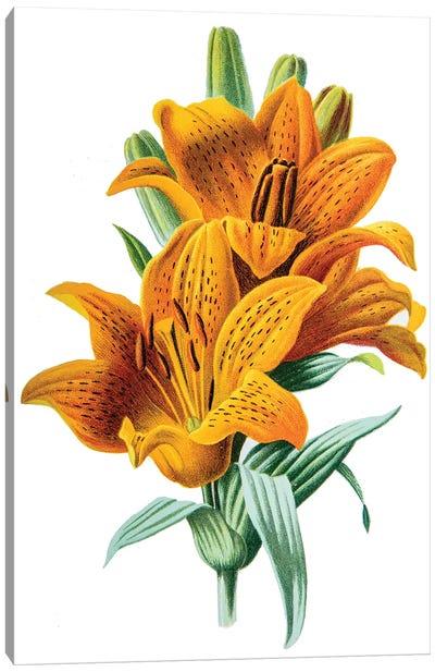 Orange Lily Canvas Art Print