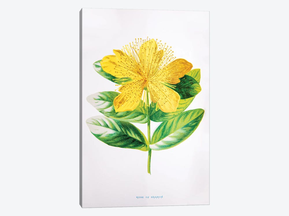 Rose Of Sharon by F. Edward Hulme 1-piece Art Print