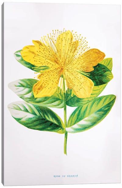 Rose Of Sharon Canvas Art Print