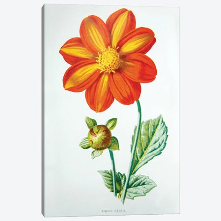 Single Dahlia Canvas Print #HUL9} by F. Edward Hulme Art Print