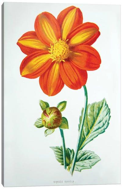 Single Dahlia Canvas Art Print