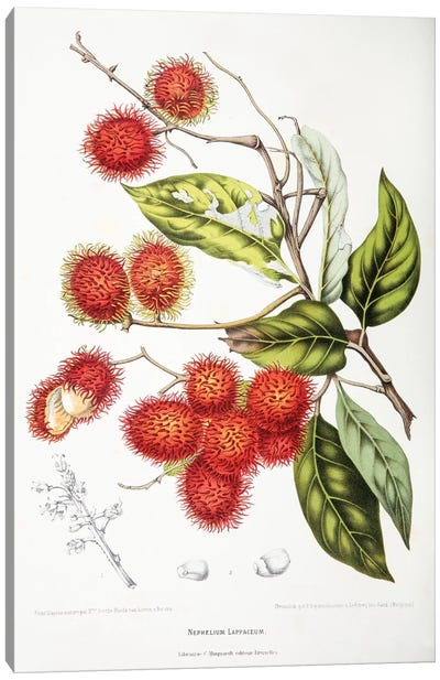 Hoola van Nooten's Flowers, Fruits And Foliage From Java Series: Nephelium Lappaceum (Rambutan) Canvas Print #HVN11