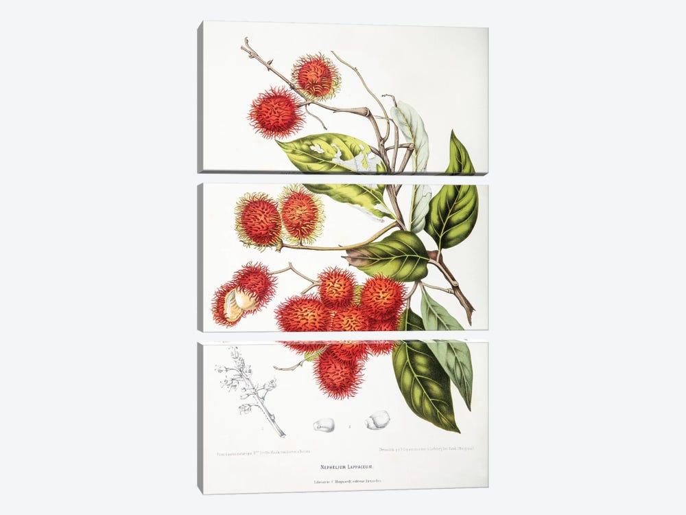 Nephelium Lappaceum (Rambutan) by Berthe Hoola van Nooten 3-piece Canvas Print