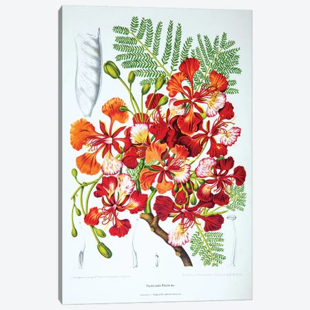 Poinciana Regia (Flame Tree) Canvas Print #HVN12} by Berthe Hoola van Nooten Canvas Wall Art