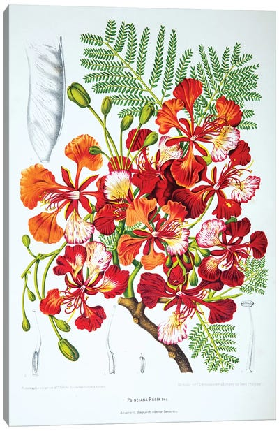 Hoola van Nooten's Flowers, Fruits And Foliage From Java Series: Poinciana Regia (Flame Tree) Canvas Print #HVN12