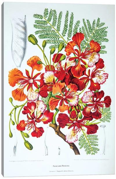 Poinciana Regia (Flame Tree) Canvas Art Print