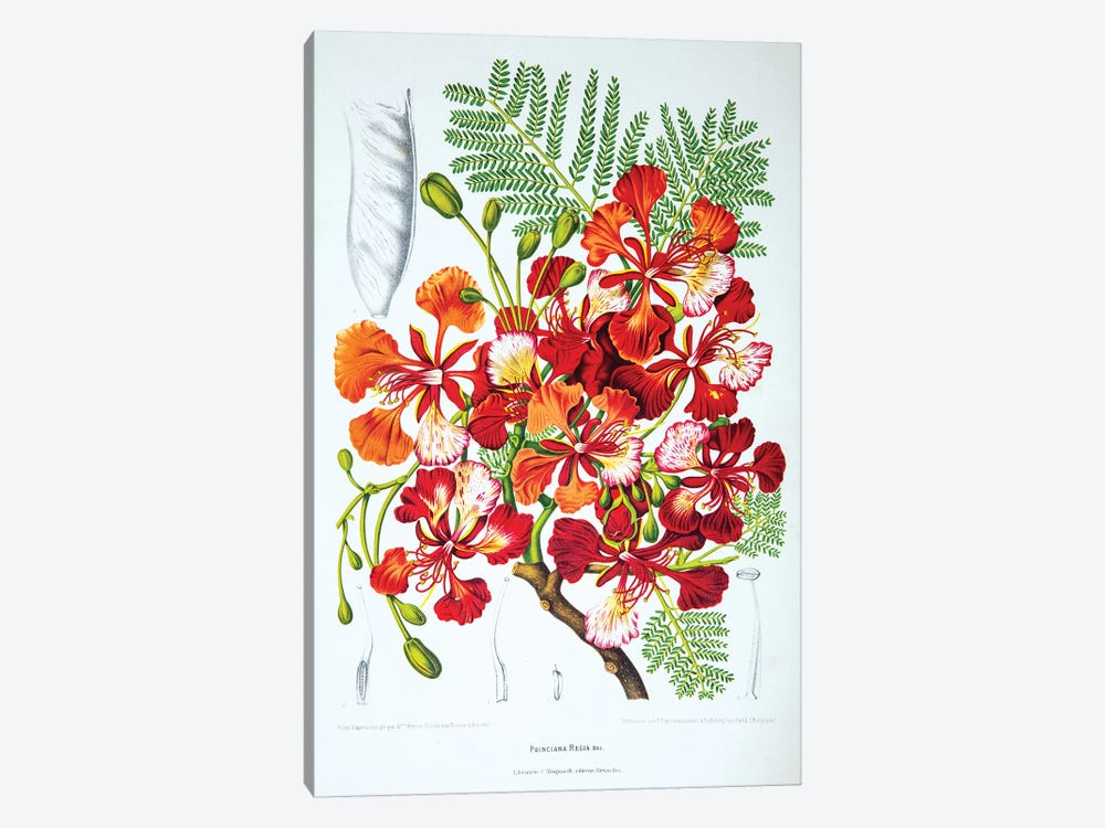 Poinciana Regia (Flame Tree) by Berthe Hoola van Nooten 1-piece Canvas Artwork