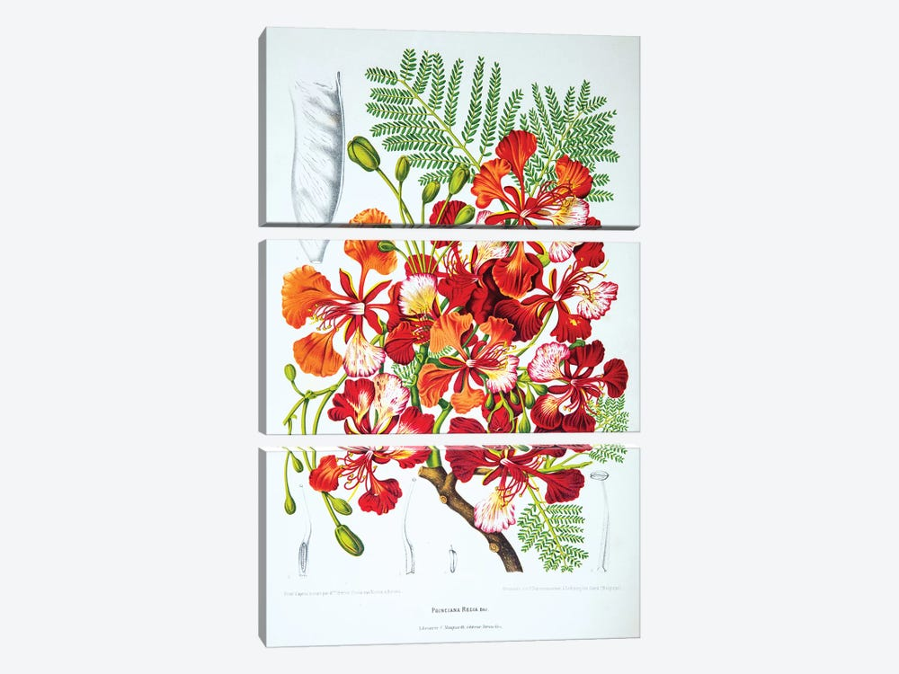 Poinciana Regia (Flame Tree) by Berthe Hoola van Nooten 3-piece Canvas Wall Art