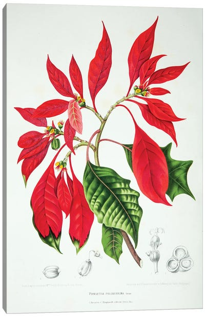 Hoola van Nooten's Flowers, Fruits And Foliage From Java Series: Poinsettia Pulcherrima Canvas Print #HVN13