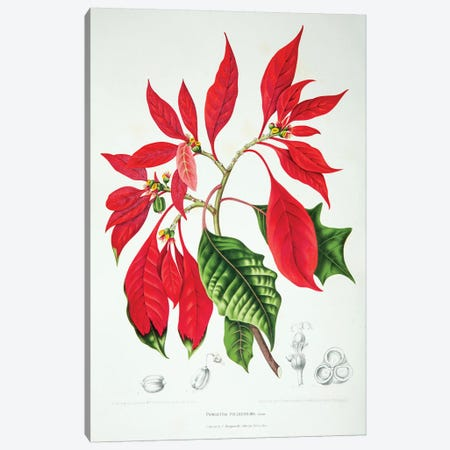 Poinsettia Pulcherrima Canvas Print #HVN13} by Berthe Hoola van Nooten Canvas Art