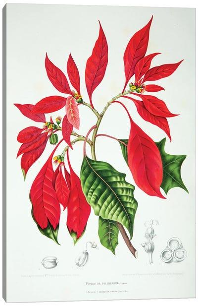 Poinsettia Pulcherrima Canvas Art Print