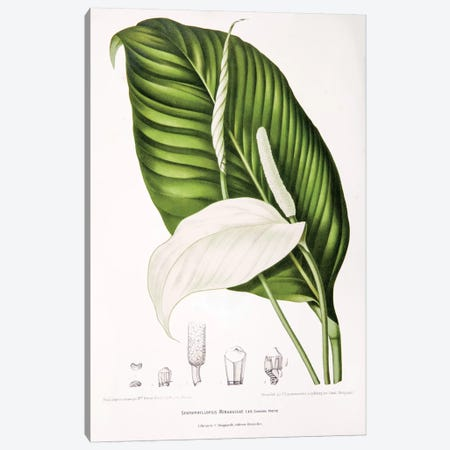 Spathiphyllopsis Minahassae (Peace Lily) Canvas Print #HVN14} by Berthe Hoola van Nooten Art Print