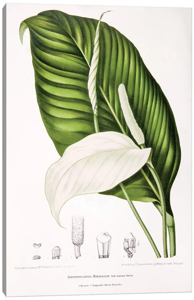 Hoola van Nooten's Flowers, Fruits And Foliage From Java Series: Spathiphyllopsis Minahassae (Peace Lily) Canvas Print #HVN14