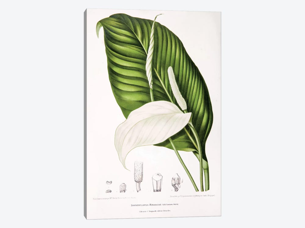 Spathiphyllopsis Minahassae (Peace Lily) 1-piece Canvas Wall Art