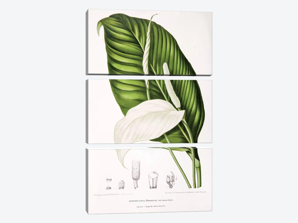 Spathiphyllopsis Minahassae (Peace Lily) 3-piece Canvas Artwork