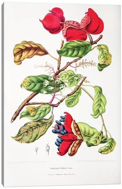 Hoola van Nooten's Flowers, Fruits And Foliage From Java Series: Sterculia Nobilis (Seven Sisters' Fruit) Canvas Print #HVN15