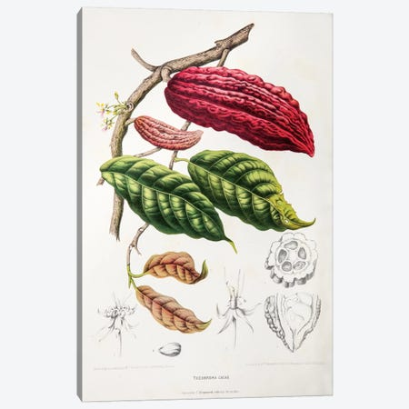 Theobroma Cacao (Cocoa Tree) Canvas Print #HVN16} by Berthe Hoola van Nooten Canvas Print