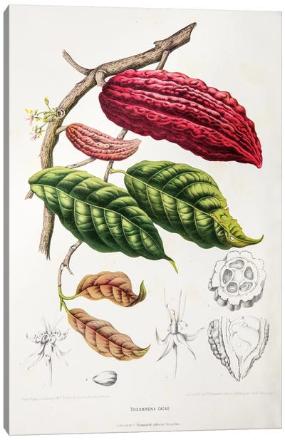 Hoola van Nooten's Flowers, Fruits And Foliage From Java Series: Theobroma Cacao (Cocoa Tree) Canvas Print #HVN16