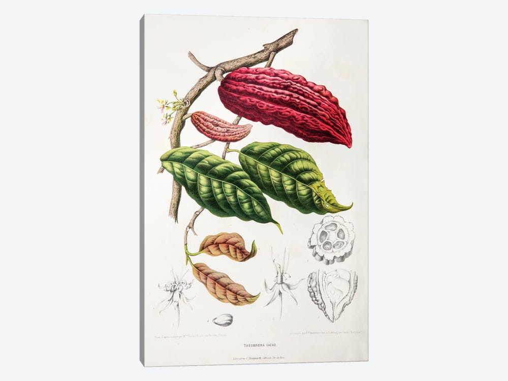 Theobroma Cacao (Cocoa Tree) by Berthe Hoola van Nooten 1-piece Canvas Artwork